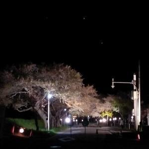 道南爺様日記 夜桜 最後の輝き 大野小学校脇 20210507