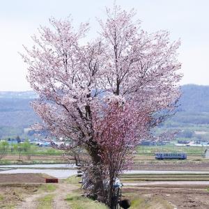 沿線の一本桜