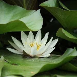 7 / 21 「 睡蓮 小紫 沼酢の木 初雪草 花虎の尾 瑠璃茉莉 」