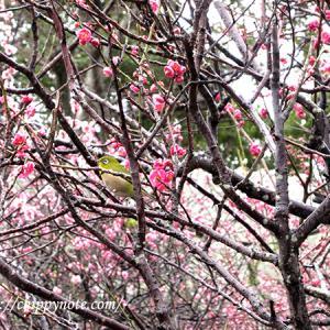 福岡城跡で梅を見てきました!