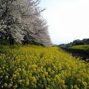 桜と菜の花の香り