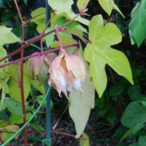 染料としての植物と花言葉🌻2