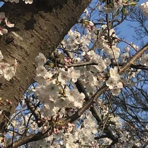 クリニークチークポップと桜