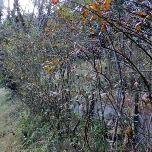 ブルーベリーの枝を切る。