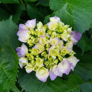 紫陽花も終わりが近づいて……