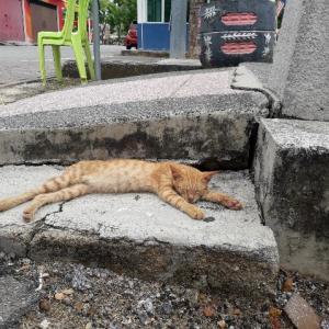 マラッカの猫