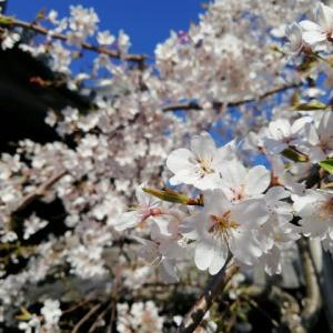桜うどん♪  卒業♪  羽ばたけ!