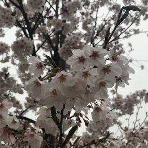 こういう花見なら有りなんでしょ?