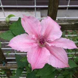 上を向いて咲くピンク ファンタジーが花盛りです