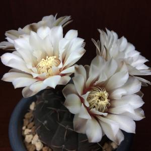 幽玄な白花の竜頭、2020年も開花してくれました