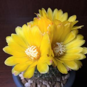 錦繡玉の鮮やかな黄花を初めて鑑賞しました