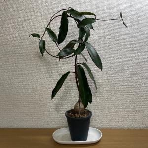 ナタレンシスは、枝というより蔓を伸ばすんですね