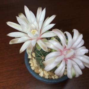 翠晃冠も我が家で初めて開花しました