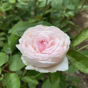 二番花がよく咲いたクロチルド スーペル(粉粧楼)