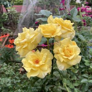 梅雨時のバラの中ではフリージアが元気いっぱい
