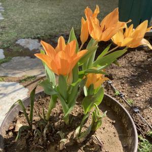 原種系チューリップ、早咲きのレディ ジェーンとショーグン