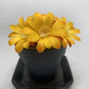 宝山の初開花に見惚れました