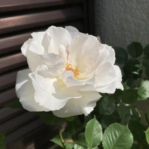 強健なマーガレット メリルは2021年も元気な開花でした