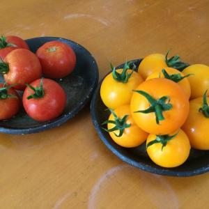中玉トマトのフルティカとシンディオレンジを同時に栽培して正解でした