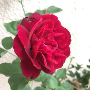 バラの新苗栽培~フランシス デュブリュイ編(その3)