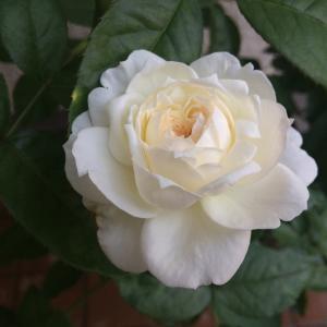 バラの新苗栽培~ボレロが名花であることを再認識しています
