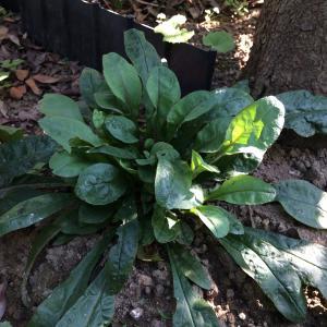ペンステモン ハスカーレッドとポテンティラ モナークベルベットはなぜ春に咲かなかったのだろうか