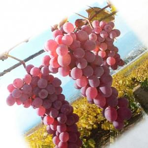 日本ワインはホっとする、日本人ですから♪夏にキンキンに冷やした甲州は最高です!