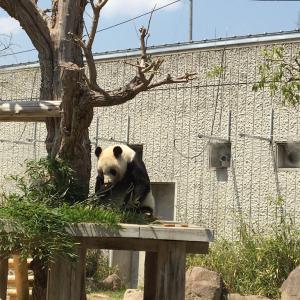 王子動物園のパンダに会えることになりました