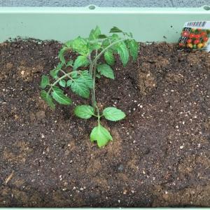 家庭菜園始めました。無難なミニトマトから
