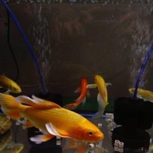 錦鯉、ヒレナガ錦鯉大型サイズの販売ご案内📢
