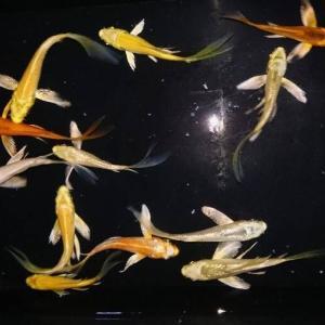 ヒレナガ錦鯉の当歳魚(新子)を販売開始します📢