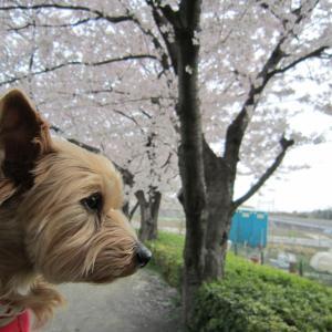 春になったね、桜が咲いたよ。