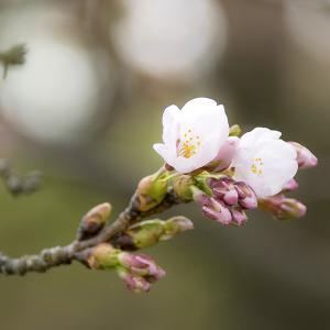 弘前桜祭り2019