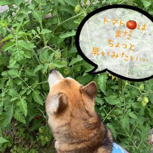 小さな畑のお野菜(*'▽')