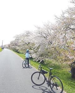 桜の散る背割堤を走る