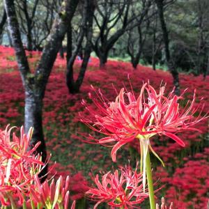 【愛媛】窪野 彼岸花群生地の彼岸花はなかなかすごい