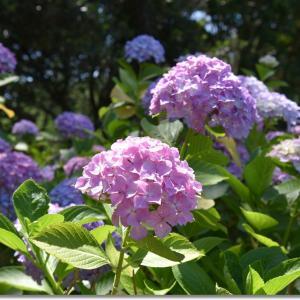 うみなか(2020)梅雨を彩る紫陽花