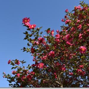 初冬の青空と山茶花(サザンカ)