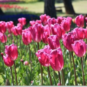 うみなか 春咲きチューリップ