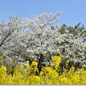 うみなかの春(2021)桜満開