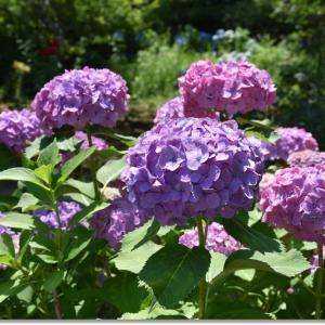6月 風待月(かぜまちづき)の紫陽花
