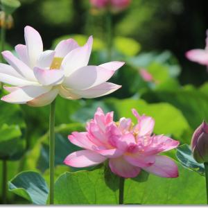 暑い夏 蓮の花が咲く頃に