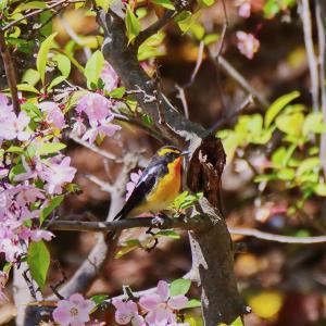 4/12(金)自然・野鳥ニュース