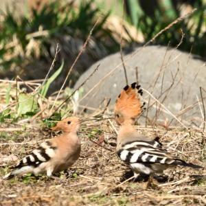 4/18(木)自然・野鳥ニュース