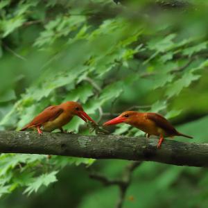 憧れの赤い鳥☆アカショウビン(2)