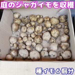 ジャガイモを収穫しました