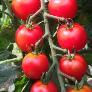 【家庭菜園】トマトが赤くなりました(2019)