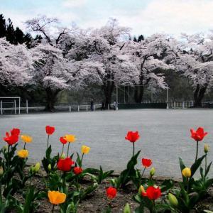 *桜景色~校庭の桜~*