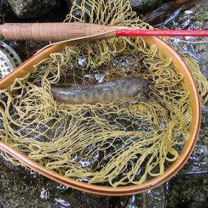 県外移動自粛明けに渓流でイワナを釣る