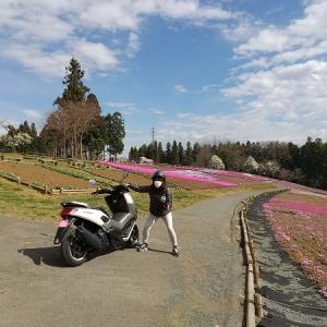 秩父で桜見物 羊山の桜と芝桜